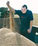 Зерно в Смоленской области вырастили - куда его деть?