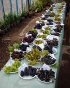 Смоленский виноград