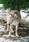 Около смоленской школы №9 поймали волка, гуляющего в ошейнике.