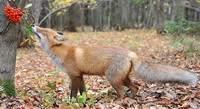 В Смоленск зачастили лисы
