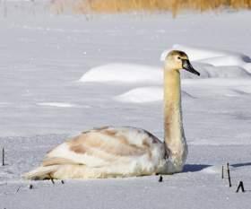 В Смоленской области спасли трех лебедей