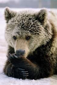 Про подмоченных медведей и «ощетинившуюся» камбалу