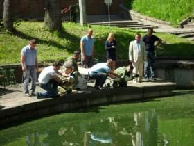 В смоленском парке появились лебеди