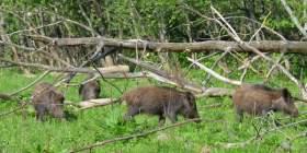 В Смоленской области ведется отстрел 250 кабанов