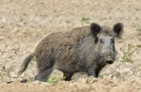 В Смоленской области под угрозой заражения АЧС находится 120 тысяч свиней