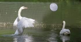 Вчера сотрудники ЦПКиО «Лопатинскоий сад» поймали лебедя-беглеца