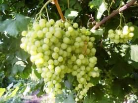 27 сентября в Смоленске пройдет Х юбилейный конкурс виноградарей