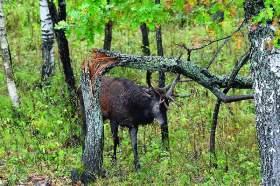 Осенняя симфония европейских оленей