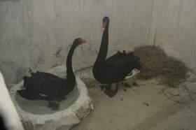 Зимовка лебедей в Лопатинском саду будет комфортной