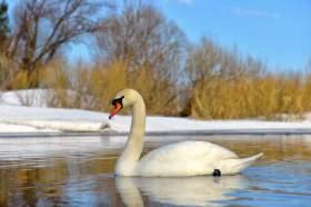 Как «РП» спасал лебедей