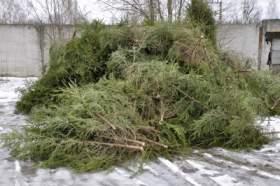 Смоленские полицейские изъяли тысячу незаконно срубленных молодых елей