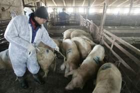Администрация Смоленской области продолжает борьбу с африканской чумой свиней