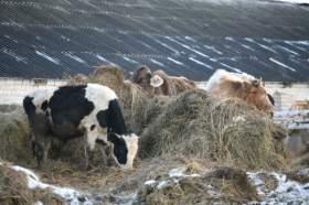 Руднянских коров не морозят