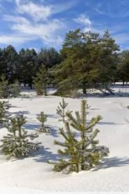 Деревья в Смоленской области заклеймят, как куриные яйца