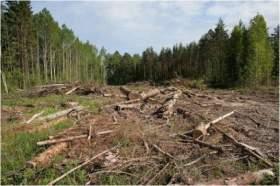 В Духовщинском районе незаконно вырубили около 30 деревьев
