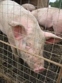 ООО «Агросоюз»: свинина для гурманов