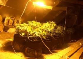 Смоляне выращивали элитную голландскую марихуану