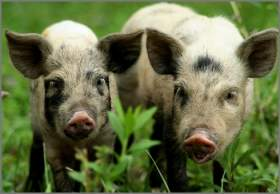 Беларусь запретила ввоз свинины из Смоленской области из-за АЧС