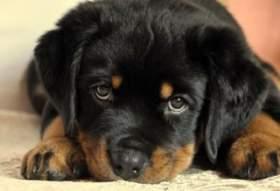 Ярцевчанке грозит до четырех лет колонии за кражу щенка ротвейлера